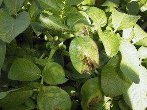 Potato Blight Leaves